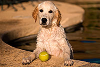 /images/133/2009-10-09-gilbert-bella-114899.jpg - #07518: Bella (English Golden Retriever) with ball … Oct 2009 -- Gilbert, Arizona