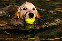 /images/133/2009-10-09-gilbert-bella-114910.jpg - #07519: Bella (English Golden Retriever) swimming with ball … Oct 2009 -- Gilbert, Arizona