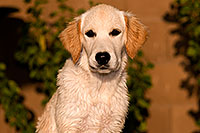 /images/133/2009-10-16-gilbert-bella-115925.jpg - #07574: Bella (English Golden Retriever) … Oct 2009 -- Gilbert, Arizona