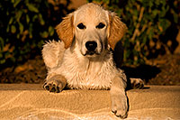/images/133/2009-10-16-gilbert-bella-115972.jpg - #07575: Bella (English Golden Retriever) by the pool … Oct 2009 -- Gilbert, Arizona