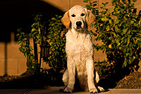 /images/133/2009-10-16-gilbert-bella-116000.jpg - #07576: Bella (English Golden Retriever) by the pool … Oct 2009 -- Gilbert, Arizona