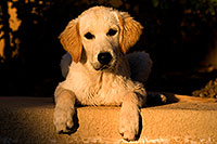 /images/133/2009-10-16-gilbert-bella-116069.jpg - #07578: Bella (English Golden Retriever) by the pool … Oct 2009 -- Gilbert, Arizona