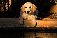 /images/133/2009-10-16-gilbert-bella-116089.jpg - #07579: Bella (English Golden Retriever) by the pool … Oct 2009 -- Gilbert, Arizona