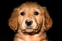 /images/133/2009-10-31-mesa-puppies-120567.jpg - #07770: Golden Retriever Puppies (7 weeks old) … October 2009 -- Mesa, Arizona