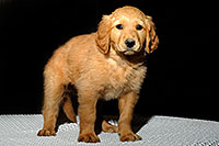 /images/133/2009-10-31-mesa-puppies-120591.jpg - #07772: Golden Retriever Puppies (7 weeks old) … October 2009 -- Mesa, Arizona