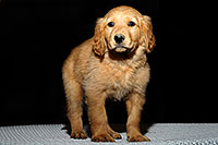 /images/133/2009-10-31-mesa-puppies-120626.jpg - #07773: Golden Retriever Puppies (7 weeks old) … October 2009 -- Mesa, Arizona