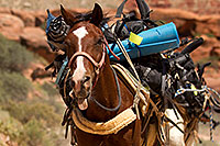 /images/133/2010-06-21-havasu-horses-7613.jpg - #08165: Along Havasupai Trail … June 2010 -- Havasupai Trail, Havasu Falls, Arizona