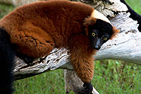 /images/133/2010-08-19-zoo-lemurs-24853.jpg - #08485: Red ruffed Lemur at the Phoenix Zoo … August 2010 -- Phoenix Zoo, Phoenix, Arizona