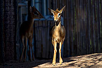 /images/133/2010-08-20-zoo-kirks-dik-dik-25932.jpg - #08497: Kirk`s Dik Dik at the Phoenix Zoo … August 2010 -- Phoenix Zoo, Phoenix, Arizona