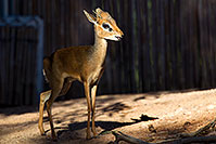/images/133/2010-08-20-zoo-kirks-dik-dik-25944.jpg - #08498: Kirk`s Dik Dik at the Phoenix Zoo … August 2010 -- Phoenix Zoo, Phoenix, Arizona