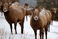 /images/133/2011-01-09-ouray-bighorns-47947.jpg - #09021: Bighorn Sheep by Ouray … January 2011 -- Ouray, Colorado