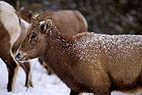 /images/133/2011-01-09-ouray-bighorns-47958.jpg - #09022: Bighorn Sheep by Ouray … January 2011 -- Ouray, Colorado