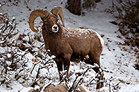 /images/133/2011-01-09-ouray-bighorns-47987.jpg - #09025: Bighorn Sheep by Ouray … January 2011 -- Ouray, Colorado