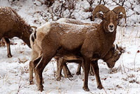 /images/133/2011-01-09-ouray-bighorns-48074.jpg - #09029: Bighorn Sheep by Ouray … January 2011 -- Ouray, Colorado