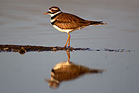/images/133/2011-03-17-riparian-killdeer-59393.jpg - #09098: Killdeer at Riparian Preserve … March 2011 -- Riparian Preserve, Gilbert, Arizona