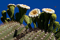 /images/133/2011-05-14-supers-flowers-68398.jpg - #09170: Blooming Saguaro in Superstitions … May 2011 -- Superstitions, Arizona