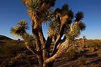 /images/133/2011-06-14-yoshua-trees-76825.jpg - #09287: Afternoon at Joshua Tree Highway … June 2011 -- Joshua Tree Highway, Nevada