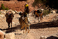 /images/133/2011-06-24-havasu-canyon-78900.jpg - #09325: Pack horses along Havasupai Trail … June 2011 -- Havasupai Trail, Havasu Falls, Arizona