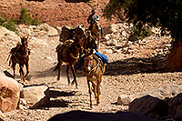 /images/133/2011-06-24-havasu-canyon-78925.jpg - #09326: Pack horses along Havasupai Trail … June 2011 -- Havasupai Trail, Havasu Falls, Arizona