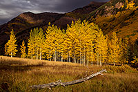 /images/133/2011-09-29-maroon-trees-log-102018.jpg - #09563: Log and yellow Aspen trees in Maroon Bells, Colorado … September 2011 -- Maroon Bells, Colorado