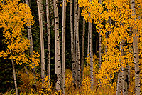/images/133/2011-10-04-maroon-rainy-trees-104537.jpg - #09577: Yellow Aspen Fall Colors in Maroon Bells, Colorado … October 2011 -- Maroon Bells, Colorado