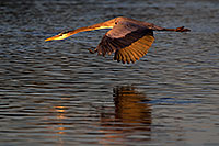 /images/133/2011-11-14-riparian-great-118160.jpg - #09722: Great Blue Heron in flight at Riparian Preserve … November 2011 -- Riparian Preserve, Gilbert, Arizona