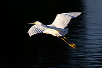 /images/133/2011-11-15-riparian-snowy-118410.jpg - #09723: Snowy Egret in flight at Riparian Preserve … November 2011 -- Riparian Preserve, Gilbert, Arizona