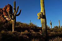 /images/133/2012-03-27-supers-cactus-151186.jpg - #10099: Saguaro Cactus in Superstitions … March 2012 -- Superstitions, Arizona