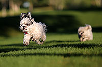 /images/133/2012-10-13-fhills-bnb-1dx_1612.jpg - 10266: Barney and Bentley (Shih Tzus) in Fountain Hills … September 2012 -- Fountain Hills, Arizona