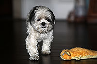 /images/133/2012-10-13-fhills-bnb-1dx_2271.jpg - #10274: Barney (Shih Tzu) in Fountain Hills … October 2012 -- Fountain Hills, Arizona
