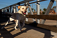 /images/133/2012-11-25-tempe-balou-5770.jpg - Balou (Yellow Lab)