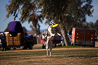 /images/133/2013-01-18-havasu-balloons-dogs-20090.jpg - #10707: Jumping dogs of Hot Dogs Club at Lake Havasu Balloon Fest … January 2013 -- Lake Havasu City, Arizona