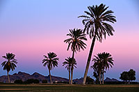 /images/133/2013-01-18-havasu-balloons-palms-20640.jpg - #10723: Palm Trees at Lake Havasu Balloon Fest … January 2013 -- Lake Havasu City, Arizona