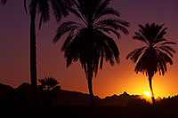 /images/133/2013-01-19-havasu-balloons-palms-20740.jpg - #10737: Palm Trees at sunrise at Lake Havasu… January 2013 -- Lake Havasu City, Arizona