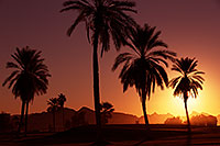 /images/133/2013-01-19-havasu-balloons-palms-20855.jpg - #10738: Palm Trees at sunrise at Lake Havasu… January 2013 -- Lake Havasu City, Arizona