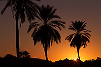 /images/133/2013-01-20-havasu-balloons-palms-21307.jpg - #10759: Palm Trees at sunrise at Lake Havasu… January 2013 -- Lake Havasu City, Arizona