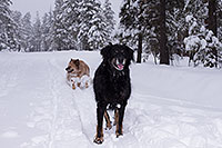 /images/133/2013-03-09-flagstaff-booda-dudle-29548.jpg - #10885: Booda and Dudley in snow in Flagstaff … March 2013 -- Flagstaff, Arizona