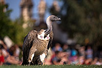 /images/133/2013-03-23-apj-ren-vulture-31063.jpg - #10933: Black Vulture at Renaissance Festival 2013 in Apache Junction … March 2013 -- Apache Junction, Arizona