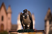 /images/133/2013-03-23-apj-ren-vulture-31097.jpg - #10935: Black Vulture at Renaissance Festival 2013 in Apache Junction … March 2013 -- Apache Junction, Arizona