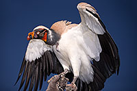 /images/133/2013-03-23-apj-ren-vulture-31200.jpg - #10943: King Vulture at Renaissance Festival 2013 in Apache Junction … March 2013 -- Apache Junction, Arizona