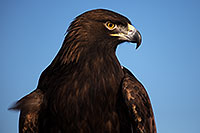 /images/133/2013-03-24-apj-ren-eagle-33056.jpg - #10950: Golden Eagle at Renaissance Festival 2013 in Apache Junction … March 2013 -- Apache Junction, Arizona