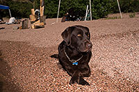 /images/133/2013-04-27-apache-lake-dood-37189.jpg - #11072: Dood (Chocolate Lab) at Apache Lake … April 2013 -- Apache Lake, Superstitions, Arizona