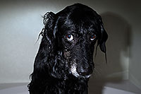 /images/133/2013-04-28-dudley-shower-37335.jpg - #11076: Dudley after a bath … April 2013 -- Mesa, Arizona
