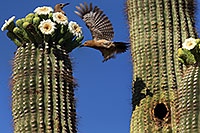 /images/133/2013-05-16-apache-woodp-41596.jpg - #11106: Flying female Woodpecker and stationary male at Saguaro flowers in Superstitions … May 2013 -- Apache Trail Road, Superstitions, Arizona