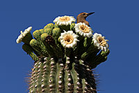 /images/133/2013-05-16-apache-woodp-41684.jpg - #11108: Male Woodpecker with a red marking on his head at Saguaro flowers in Superstitions … May 2013 -- Apache Trail Road, Superstitions, Arizona