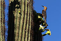 /images/133/2013-05-22-supers-woodpecks-1dx_0324.jpg - #11135: Woodpecker on a Saguaro … May 2013 -- Apache Trail Road, Superstitions, Arizona