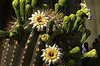 /images/133/2013-05-26-mesa-flowers-6-12-1dx_2956.jpg - #11145: Saguaro cactus in Superstitions … May 2013 -- Apache Trail Road, Superstitions, Arizona