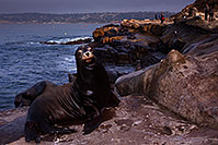 /images/133/2014-01-04-lajolla-seal-5d3_8809.jpg - #11509: Sea Lions in La Jolla, California … January 2014 -- La Jolla, California