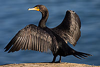 /images/133/2014-01-05-lajolla-cormorants-1x_22945.jpg - #11523: Double Crested Cormorant in La Jolla, California … January 2014 -- La Jolla, California