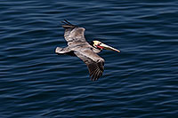 /images/133/2014-01-05-lajolla-pelicans-1x_23671.jpg - #11562: Pelican in flight in La Jolla, California … January 2014 -- La Jolla, California